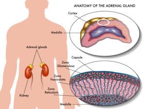 Nebennierenschwäche Nebennieren Funktion Anatomie